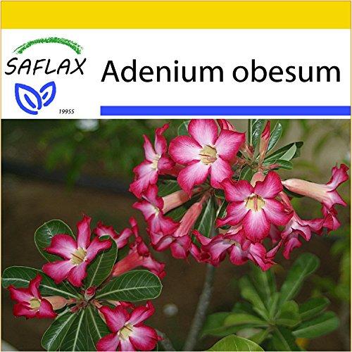 SAFLAX - Set per la coltivazione - Rosa del deserto - 8 semi - Adenium obesum