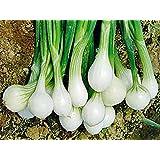 Frühlingszwiebel - Frühernte (300 Samen)