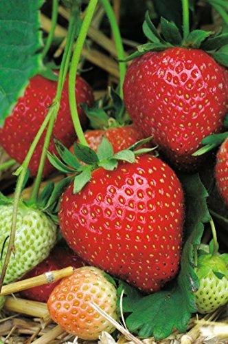 Erdbeere Aroma® Auslese' - Fragaria x ananassa - früh bis mittelfrüh, ertragreich, rot, mittelgroß, süße Früchte, erinnern an Walderdbeeren