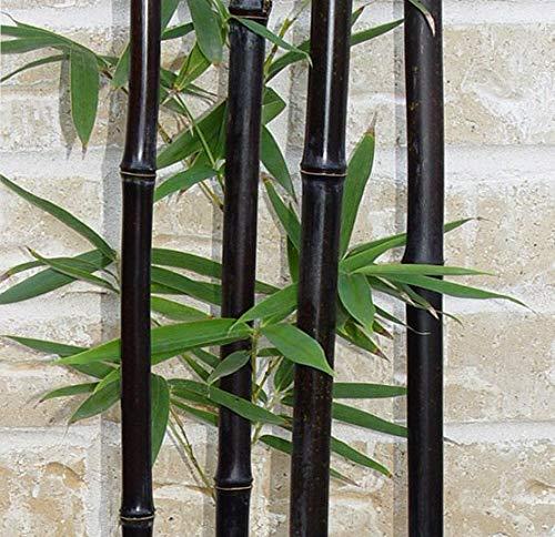 Go Garden 10 / sac rare bambou noir - Phyllostachys nigra Dendrocalamus asper Betung Hitam - Noir culmed bambou rugueux -
