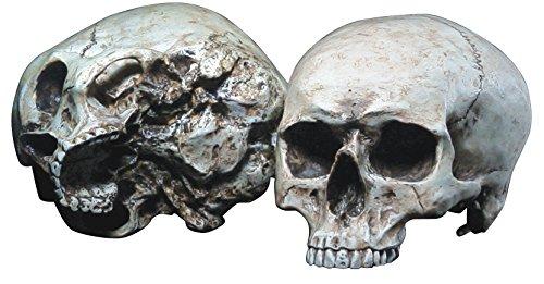 Cranio anatomia palella anatomica markus mayer
