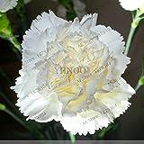 100pcs / bag clavel Semillas de flores perennes en maceta de jardín plantas con semillas Dianthus caryophyllus flor para el hogar y el jardín 8
