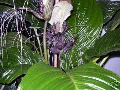 Fledermausblume, purpurfarben - Tacca integrifolia - Samen