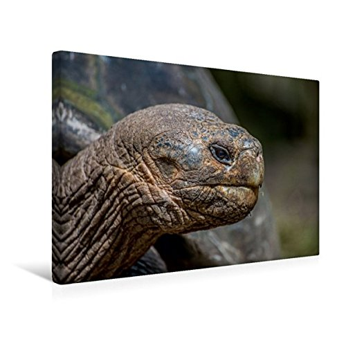 Calvendo Premium Textil-Leinwand 45 cm x 30 cm Quer, Galapagos Riesenschildkröte | Wandbild, Bild auf Keilrahmen, Fertigbild auf Echter Leinwand, Leinwanddruck Orte Orte