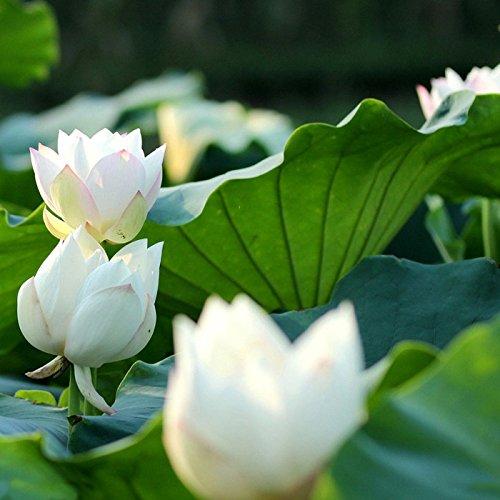Lotus Blume, Samen (Bonsai Lotus / Wasser Lily Blume Bowl-Pond 5 Frische Samen / Weiß Lotus)