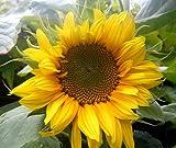 Sonnenblume Giant - Blume - 50 Samen