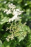 4er-Set im Gratis-Pflanzkorb - Filipendula ulmaria - winterhart - echtes Mädesüß - Wiesenkönigin, weiß - Landlust Pflanzentipp