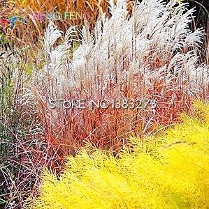 Semences de l'herbe vivaces 100 Graines Jardin ornemental facile cultiver des plantes en pot des semences Tohum Bonsai Jardin Décoration Japon Chambre Fleurs