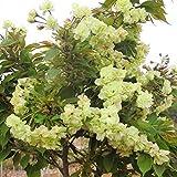Shopmeeko 20 teile/beutel sakura brunnen weinende kirschbaum Zwerg japanische blüten bonsai blume für DIY Hausgarten pflanze: 05