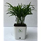 The Bonsai Plants Chamaedorea Mini Palm for Tabletop Indoor Live Plant in White Plastic Pot
