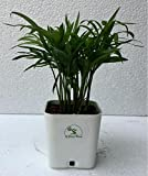 #2: The Bonsai Plants - Chamaedorea palm Mini Palm for Tabletop Indoor Live Plant in white plastic pot