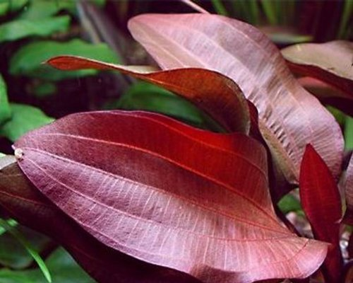 WFW wasserflora Intensiv wein-rote Echinodorus Regine Hildebrandt - Zwei-ton-wein