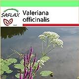 SAFLAX - Garden to Go - Heilpflanzen - Baldrian - 200 Samen - Valeriana officinalis