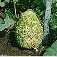Virtue BLISTER GOURD SEEDS, Apple shape, Grows to a 9 x 12 inch size,weighs 4-7 pounds