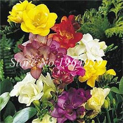 Shopmeeko Graines: Vase spécial coloré Bonsai Fleur Freesia Bonsai Décor rare orchidée Illuminez votre jardin personnel Bonsai 100 Pcs/Sac: 6