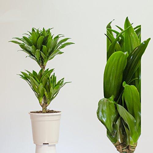 Zimmerpflanze  max. Wuchshöhe