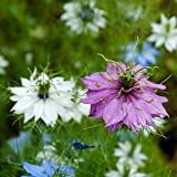 Semi amalgamati di Love-In-A-Mist - Nigella damascena