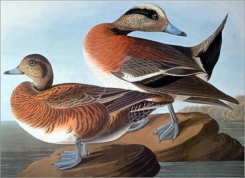 Leinwandbild 100 x 70 cm: Audubon: Wigeon, 1827-38. von John James Audubon / Granger Collection - fertiges Wandbild, Bild auf Keilrahmen, Fertigbild auf echter Leinwand, Leinwanddruck