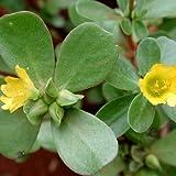Verdolaga - Portulaca oleracea - 1000 Semillas - Spg