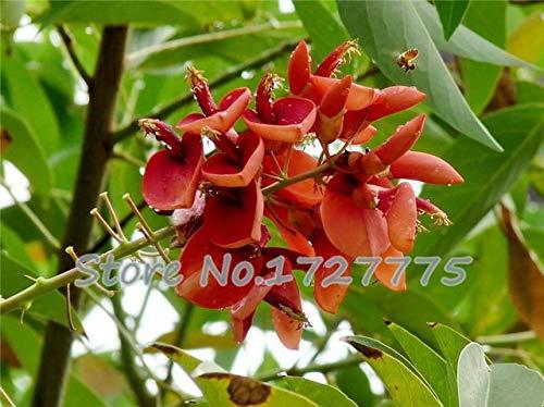 Green Seeds Co. Véritable bonsaï! 50 pcs/lot Erythrina Crista Galli, arbustes brésiliens plantes belle fleur bonsaï plante bricolage maison jardin shippi gratuit: vert