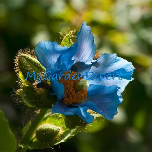 Rare Graines de pavot bleu de l'Himalaya Hardy Fleur 50pcs / lot Ornement de fleur de pavot Graine jardin Bonsai Usine Fleur