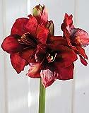 PLANT&STYLE Künstliche Amaryllis, rot, 68cm, Natural Touch