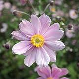 lichtnelke - Herbst - Anemone (Anemone