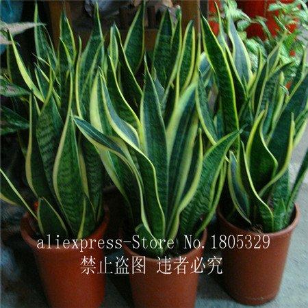50pcs graines Sansevieria de haute qualité plantes d'intérieur graines Radiation Protection Bonsai grandir Très facile plantes à feuillage