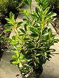 immergrüner Spindelstrauch Euonymus japonica Aurea 40-60 cm hoch im 3 Liter Pflanzcontainer
