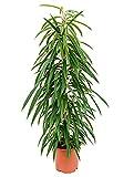Birkenfeige 80-95 cm im 21 cm Topf pflegeleichte Zimmerpflanze für hellen Standort Ficus alii 1 Pflanze