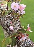 TROPICA - Ciliegio giapponese ornamentale (Prunus serulata) - 30 Semi- Resistente al freddo