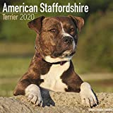 American Staffordshire Terrier - Amstaff 2020: Original Avonside-Kalender [Mehrsprachig] [Kalender] (Wall-Kalender)