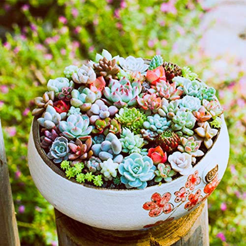Beautytalk-Garten 100 Stücke Mini Sukkulenten Samen Mix winterhart mehrjährig Saatgut Pflanzen Balkon Garten Zimmerpflanzen Saftige Kräuter Pflanzen