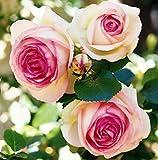 lichtnelke - Strauchrose 'Eden Rose ' stark gefüllte, atemberaubende Blüten 2 Liter Topf