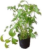 Liebstöckel - im 12cm Topf - Kräuter-Pflanze vom Gärtner - großer Liebstock | frische Liebstöckel-Pflanze