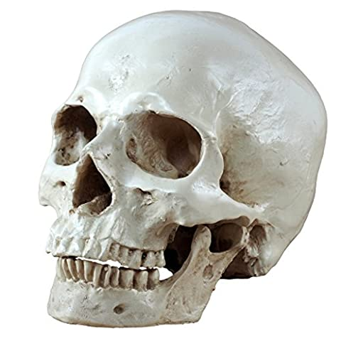 S24.5234 Human skull, 2 pieces, life-size