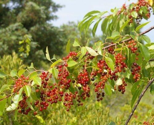 Tree Seeds Online - Prunus Serotina. Noir Sauvage Cerise 100 Semences - Lot de 10