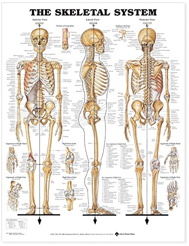 The Skeletal System Anatomical Chart (Poster plastifié) par  Anatomical Chart Company