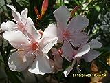 Nerium Oleander, 2x unbewurzelte Stecklinge, seltene weiss-rosa Farbe