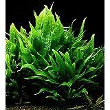Maalavya Live Aquarium Aquatic Plant Java Fern Wrinkle Leaf Microsorum Petropus Wrinkled Leaves ((15 to 20 Leaves))