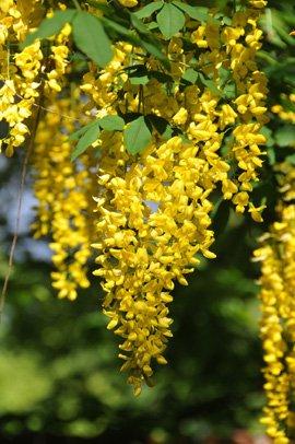 Seedeo Goldregen (Laburnum anagyroides) 35 Samen