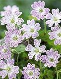 Aimado Seeds Garden-50 Pcs Géraniums vivaces striés graines,bordures, en massifs ou en rocailles,fleurs plantes rustique vivace idéales pour Jardin...