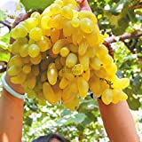 #9: Rare Dwarf Grape Plant Golden Green Grape fruit Vitis vinifera 1 Healthy Live Plant on Poly Bag