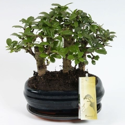 FloraStore – Bonsai Carmona Wald 21 cm (1x), Topf 21 CM, Zimmerpflanze