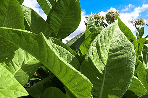 Farmerly Tobacco Seed Collection: 6 Packets/6 Varieties: Shirazi Smoking, Virginia Smoking, Quadrivalvis, Sylvestris, Huichol, Rustica~350 Seeds/Packet