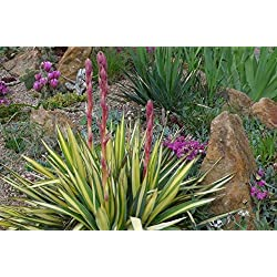 3 winterharte Pflanze Yucca/Palmlilien im 15cm Topf oder Rosentopf
