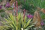 Kakteengarten 3 winterharte Pflanze Yucca /Palmlilien im 15cm Topf oder Rosentopf