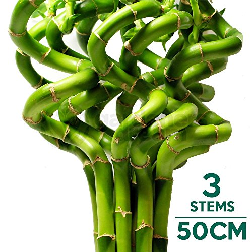 50cm-lucky-bamboo-3-spiral-stems-indoor-plant-pot-garden-windowsill-bowl