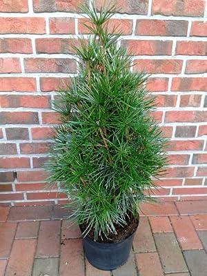 Schirmtanne, Höhe: 120-130 cm, Sciadopitys, winterharte Pflanze ! von Pflanzen Böring bei Du und dein Garten