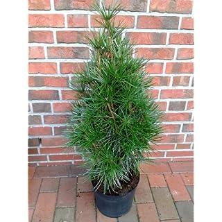Schirmtanne, Höhe:100-110 cm, Sciadopitys verticillata, winterharte Pflanze + Dünger